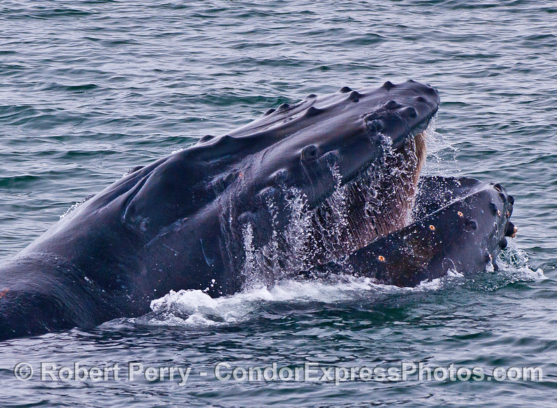 "Image 2 of 7 in a row:  humpback whale ""chomp"" feeding behavior.  Head lifts up out of the water and mouth opens wide."