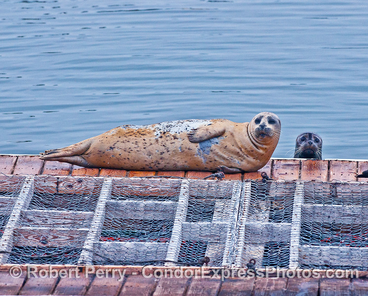 Photo Bomb - wide angle.  I was shooting the light colored Pacific Harbor seal resting on its side.  Through the camera lens, out of the blue, a smaller, wet, darker seal popped up and got into the shot.