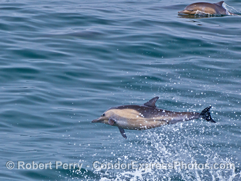 Image 1 of 4:  A leaping long-beaked common dolphin.