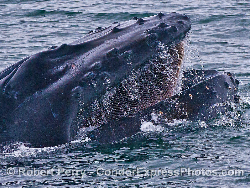 Extreme baleen close up inside the open mouth of this humpback whale.