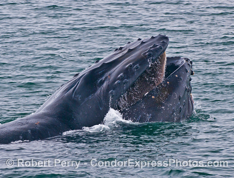 "Image 3 of 7 in a row:  humpback whale ""chomp"" feeding behavior. Mouth closes and some water escapes the lower corners."