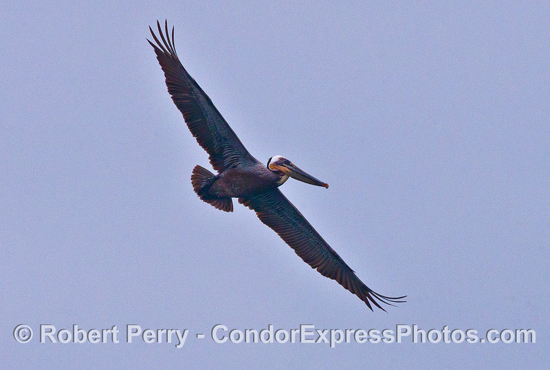 Soaring brown pelican.