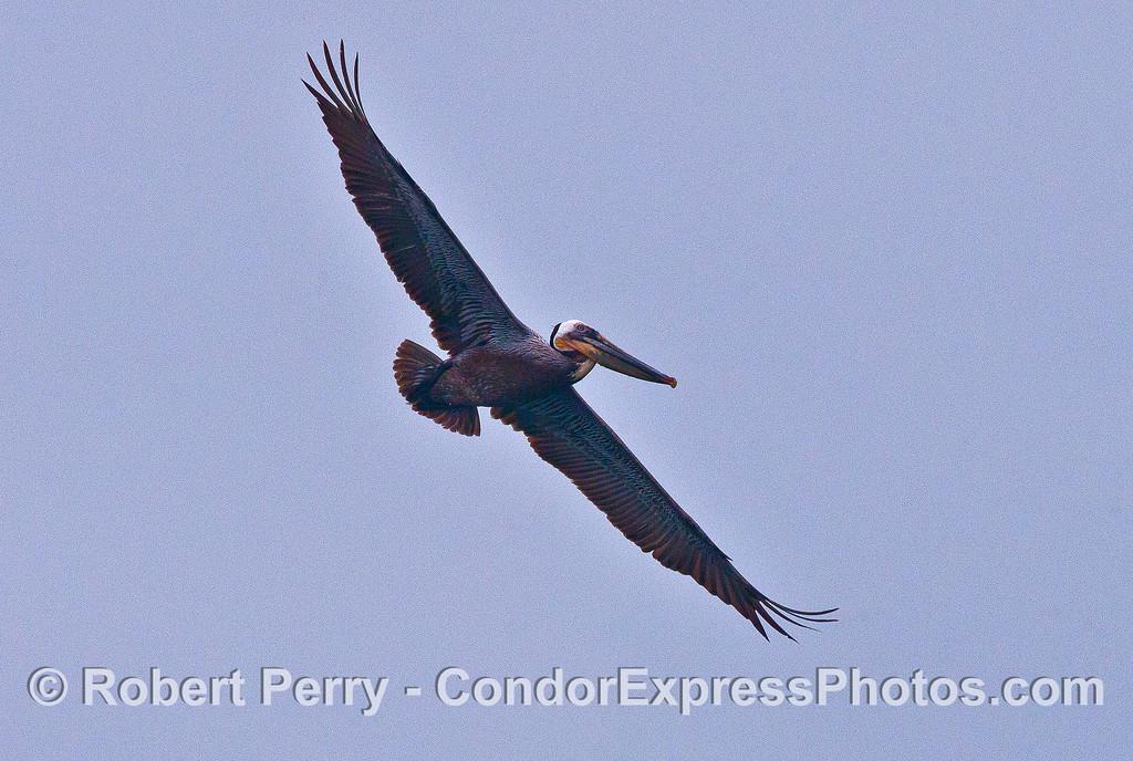 Soaring brown pelican.
