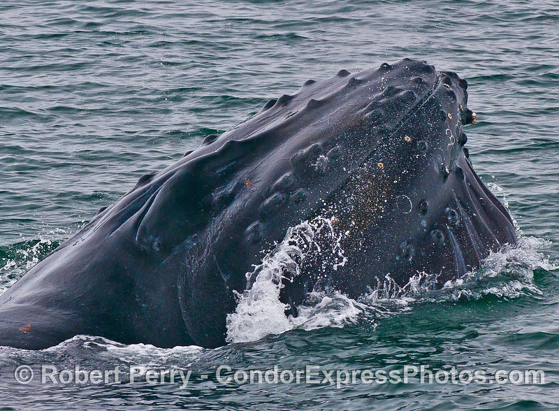 "Image 5 of 7 in a row:  humpback whale ""chomp"" feeding behavior. Closed mouth and water ejection."