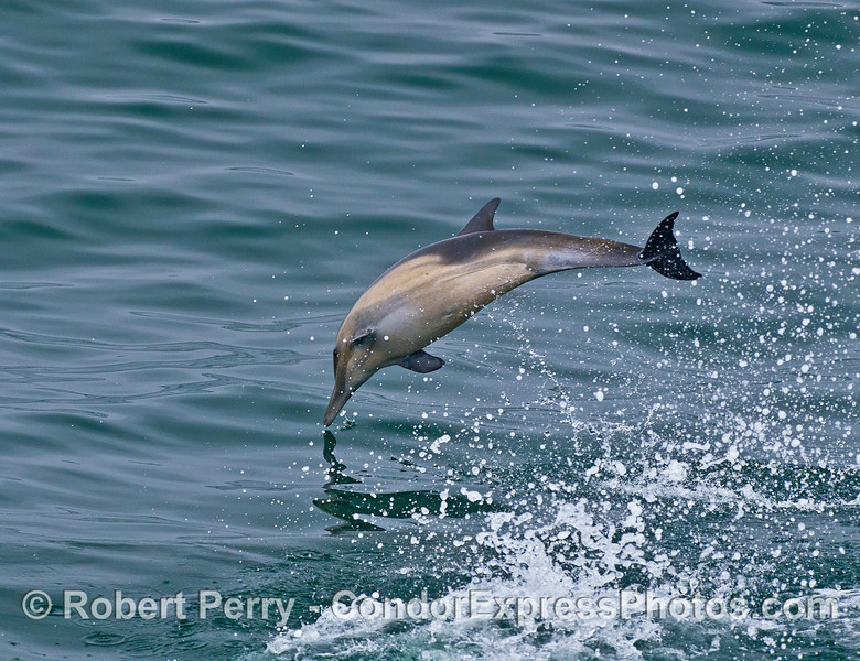 Image 2 of 4:  A leaping long-beaked common dolphin.