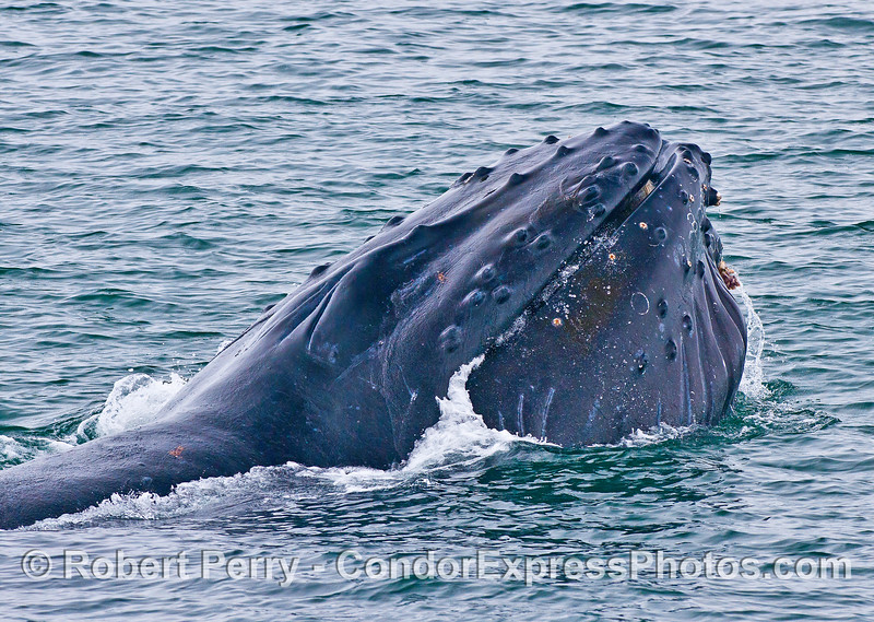 "Image 4 of 7 in a row:  humpback whale ""chomp"" feeding behavior. Mouth is closed ."