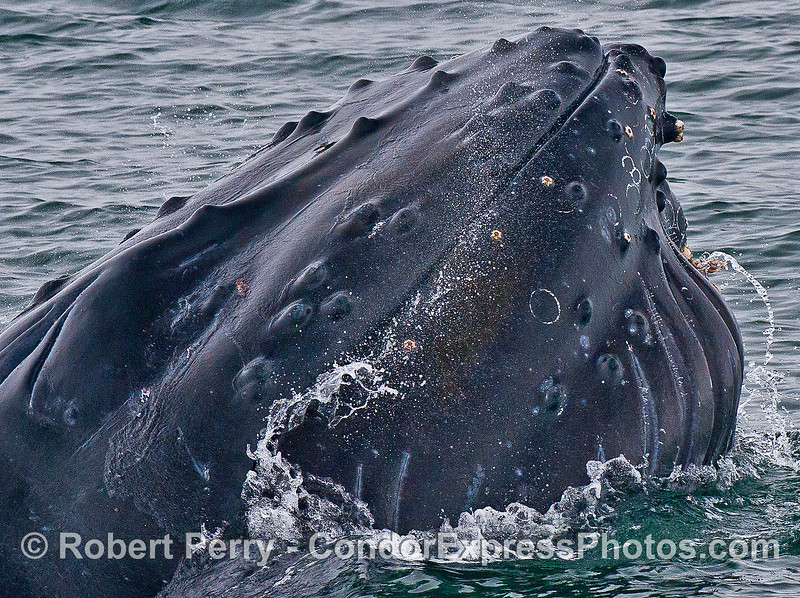 Humpback whale mouth snaps shut and water is expelled.