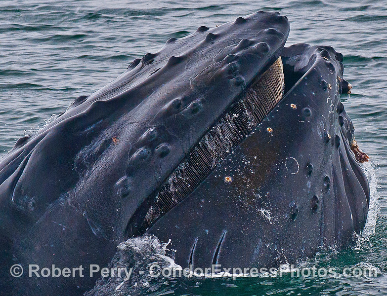 Humpback whale shows some baleen as it closes its mouth.