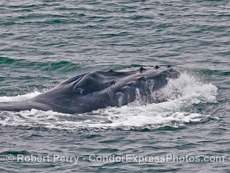 "Image 7 of 7 in a row:  humpback whale ""chomp"" feeding behavior. Head comes back up and water is seen draining all the way around."