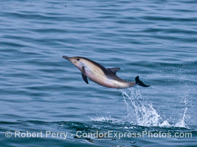 Image 4 of 4:  A leaping long-beaked common dolphin.