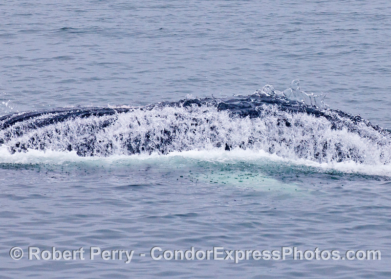 Humpback whale - ventral grooves shed water as this feeding animal breaks the surface upside-down.  Part of a white pectoral fin can be seen under the water.