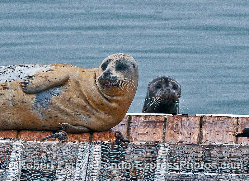 Photo Bomb - close up.  I was shooting the light colored Pacific Harbor seal resting on its side.  Through the camera lens, out of the blue, a smaller, wet, darker seal popped up and got into the shot.