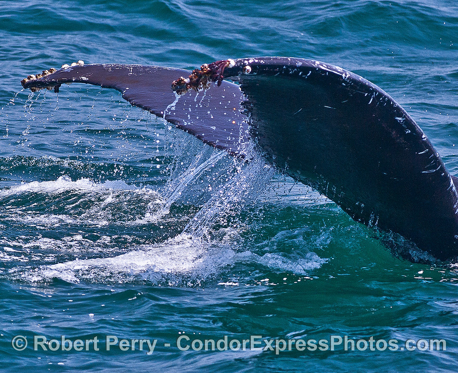 Image 2 of 2:  humpback whale tail flukes - waterfall.