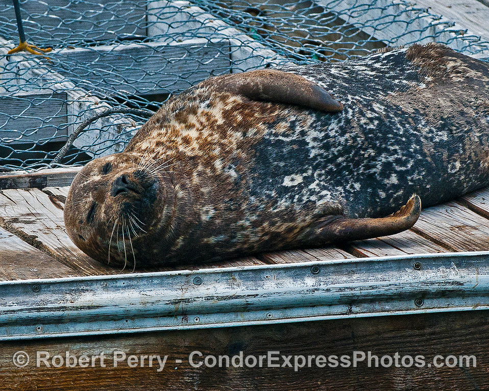 Pacific harbor seal - asleep.