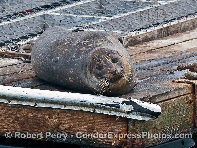 Pacific harbor seal - awake.