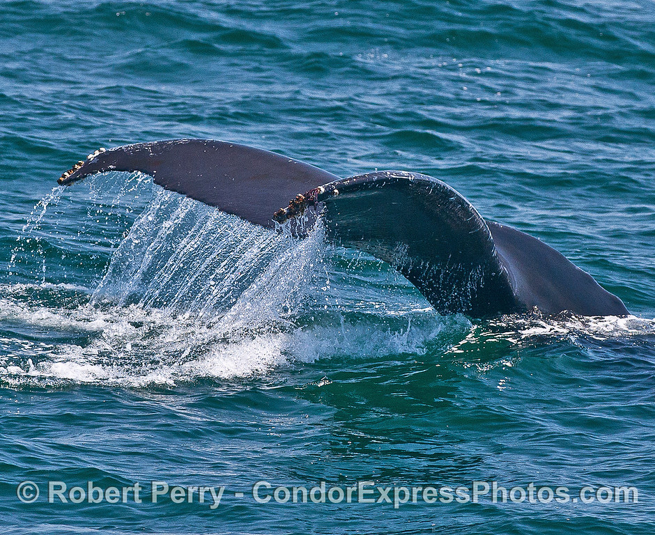 Image 1 of 2:  humpback whale tail flukes - waterfall.