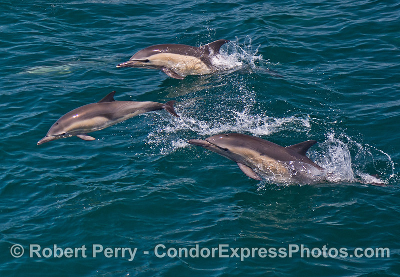 Long-beaked common dolphins leaping as a group.