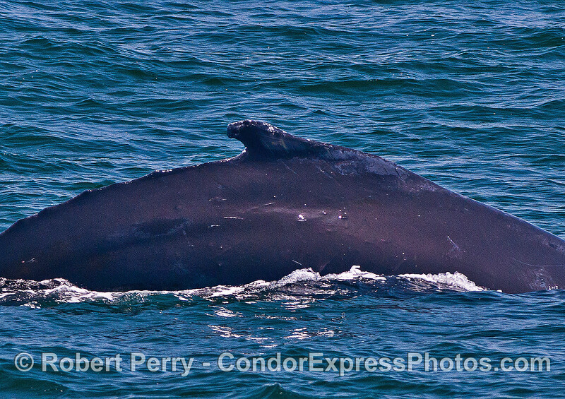 "Humpback whale with ""can opener"" dorsal fin shape."