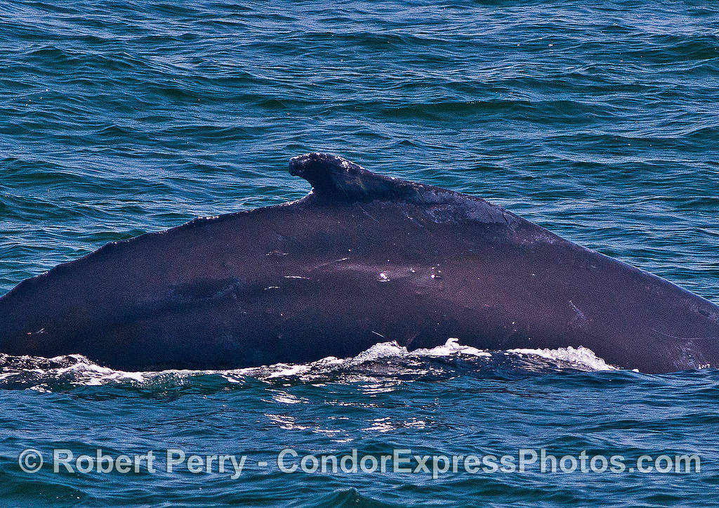 """Humpback whale with """"can opener"""" dorsal fin shape."""