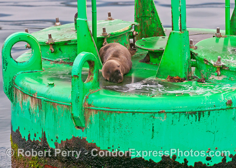 Image 1 of 2 - a 10 or 11 month old, very small, California sea lion on the Harbor entrance buoy.