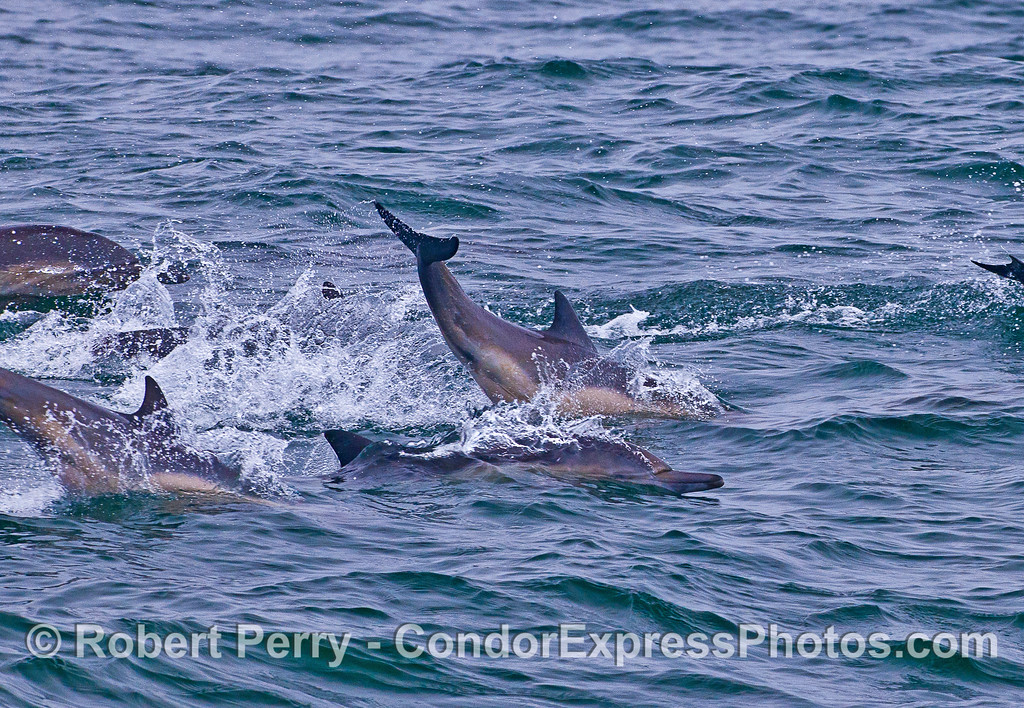 A long-beaked common dolphin slaps its tail.