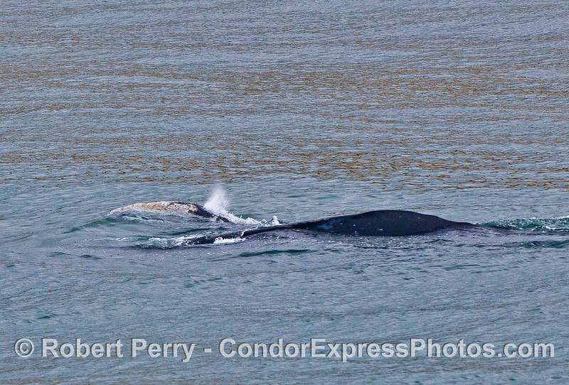 Mother gray whale (dark body) and her spouting calf.