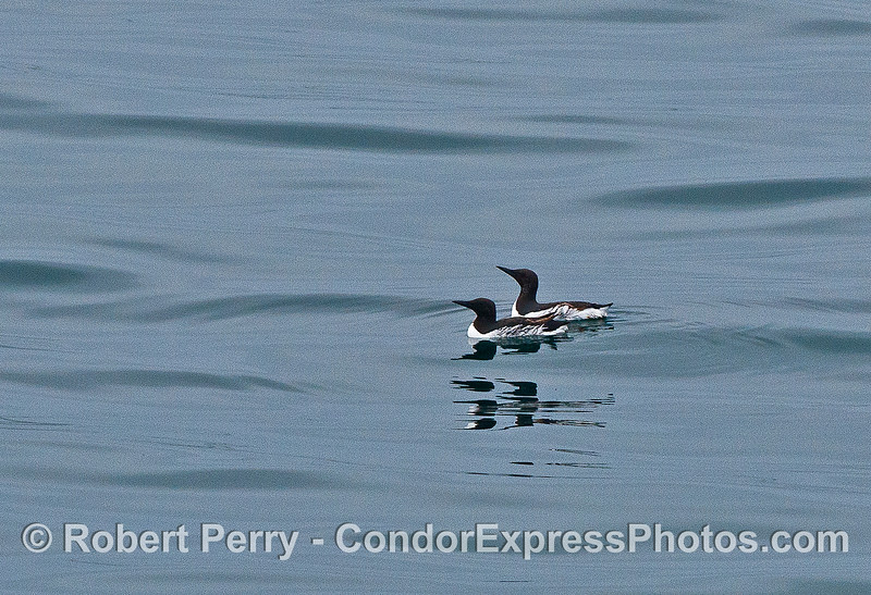 A paire of common murres on a glassy ocean surface.