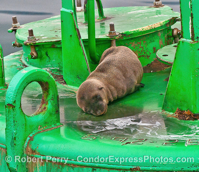 Image 2 of 2 - a 10 or 11 month old, very small, California sea lion on the Harbor entrance buoy.