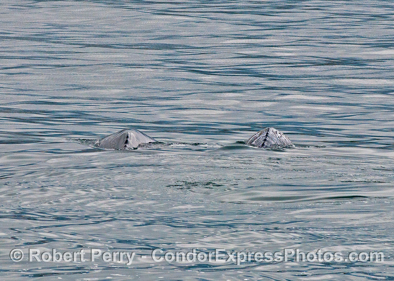 A mother gray whale and her calf heading up to Alaska and showing dorsal ridges.