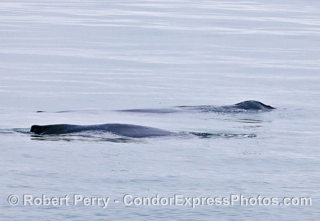 Humpback whales - two side by side.