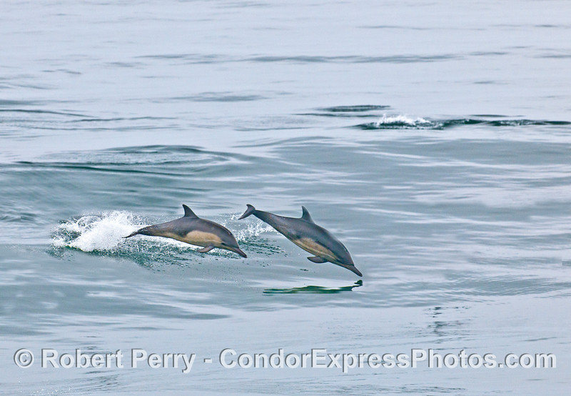 Two long-beaked common dolphins leaping.