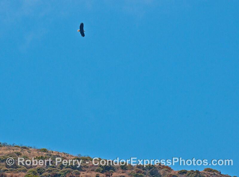 Bald eagle soars high above the Santa Cruz Island sea cliffs.