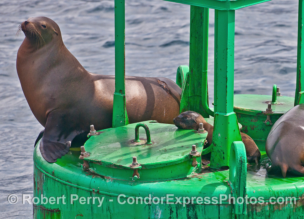 A very small juvenile California sea lion rests on the harbor entrance buoy with a large female (it's mother?) nearby.