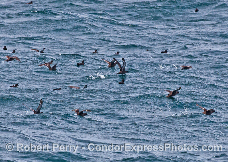 Sooty shearwaters, visitors from New Zealand, are seen taking flight.