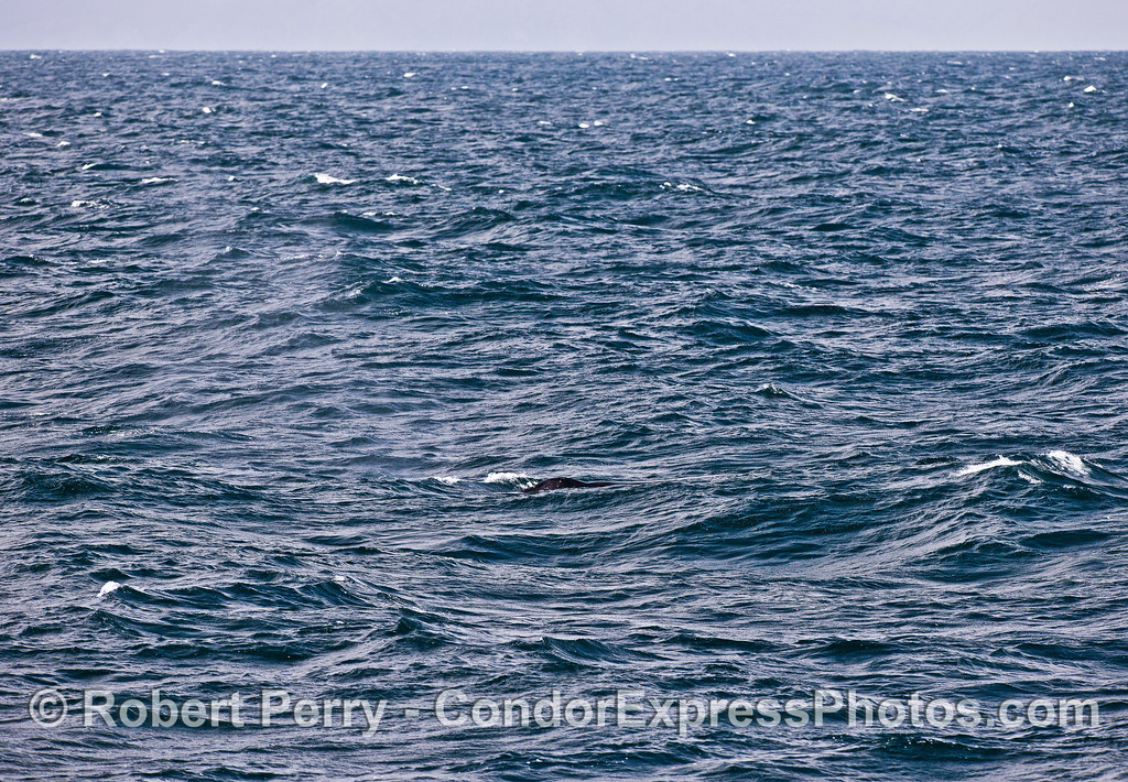 Choppy and windy - can you spot the humpback whale?