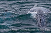 Image 1 of 2:  Gray whale mother (right) and her calf (blowholes poking up on left)