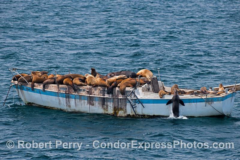 California sea lions have completely overtaken a derelict sailboat - East Beach Anchorage, Santa Barbara.