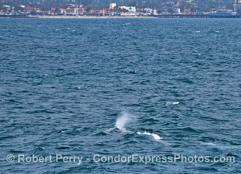 Gray whale mother and her calf with Stern's Wharf in the background.