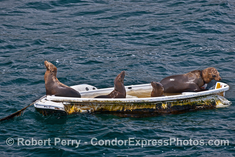 """Four California sea lions, two of which have nylon monofilament """"necklace wrap"""" entanglements, play in the wading pool created by a mostly sunk dinghy - East Beach Anchorage, Santa Barbara."""