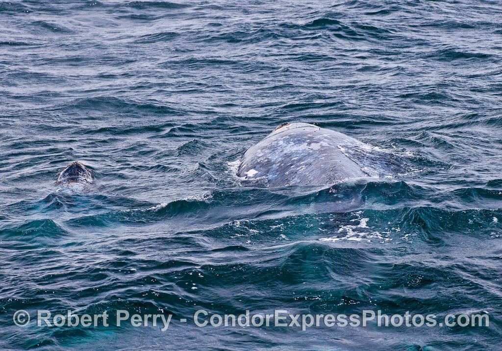 Image 2 of 2:  Gray whale mother (right) and her calf (blowholes poking up on left)