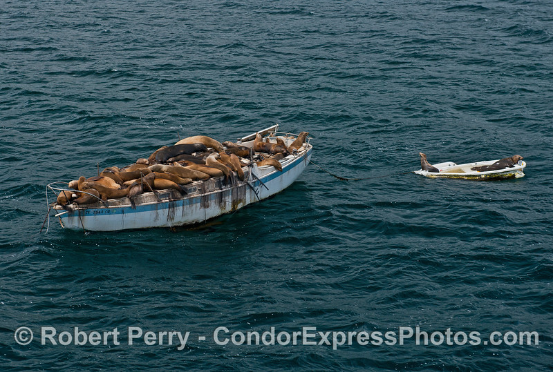 California sea lions have completely overtaken a derelict sailboat and dinghy - East Beach Anchorage, Santa Barbara.