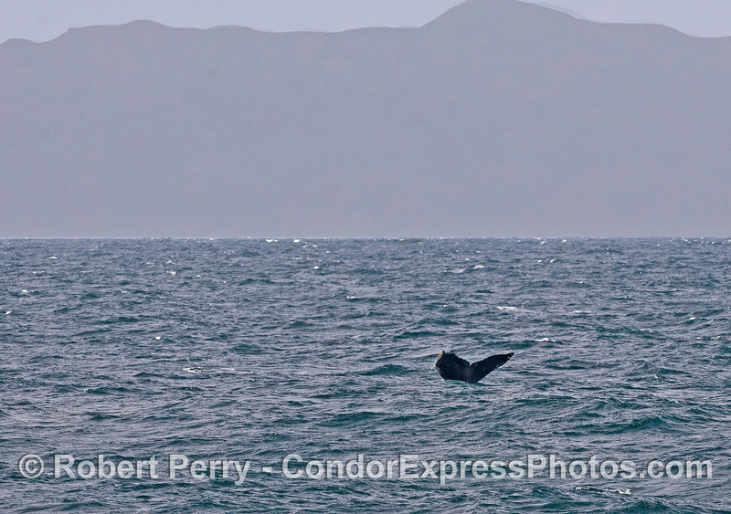 Choppy and windy with humpback whale tail flukes and Santa Cruz Island silhouetted in the back.