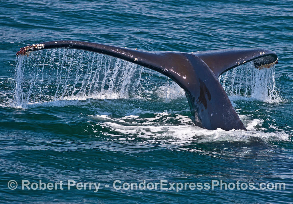 Waterfall - humpback whale tail flukes.