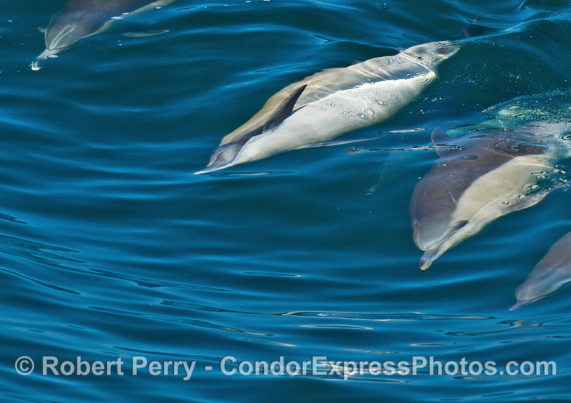 Image 2 of 6 in a row:  a long-beaked common dolphin doing a barrel roll.