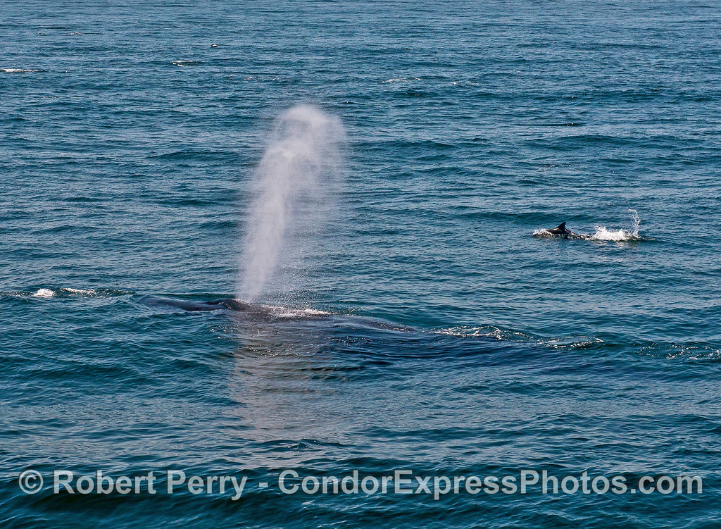 A humpback with dolphins.