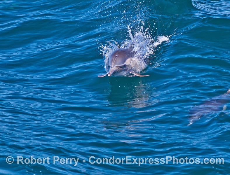 A dolphin leaps directly at the camera.