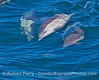 Delphinus capensis barrel roll seq 2016 05-23 SB Channel-006