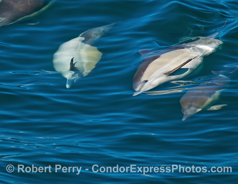 Image 5 of 6 in a row:  a long-beaked common dolphin doing a barrel roll.