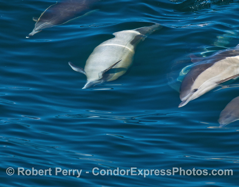 Image 4 of 6 in a row:  a long-beaked common dolphin doing a barrel roll.