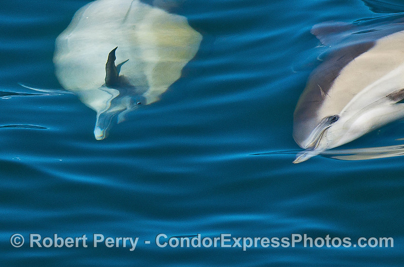 """Close up view of a long-beaked common dolphin doing a barrel roll, or what Bruce Brown called an """"El Rollo"""" in the Endless Summer.  See the entire 6-fram seqence below."""